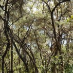 Flaky-bark Tea-tree forest, Lawson Creek riparian zone Feb 2019 Photo: P Ardill