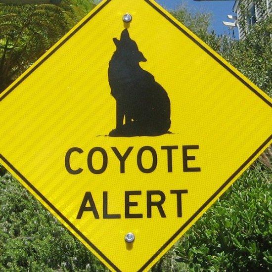 Laguna Beach Coyote Alert 2015