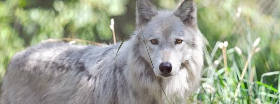 Image Courtesy of wolfhaven.org
