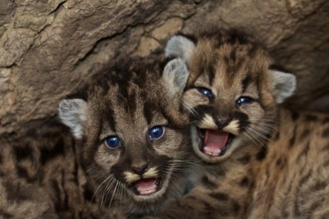 Mountain Lion Kittens Courtesy of NPS.gov