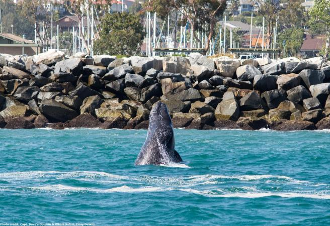 Gray whale calf breaching in front of Dana Point Harbor, seen during Captain Dave's Dolphin and Whale Watching Safari in Dana Point, California Courtesy of The City of Dana Point