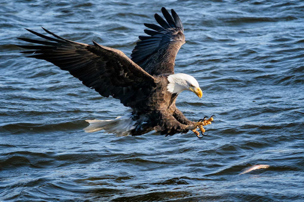 The majestic bald eagle has returned to Long Island: learn about the ...