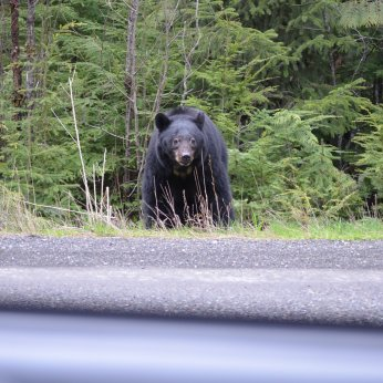 Driving pass the first seen black bear.