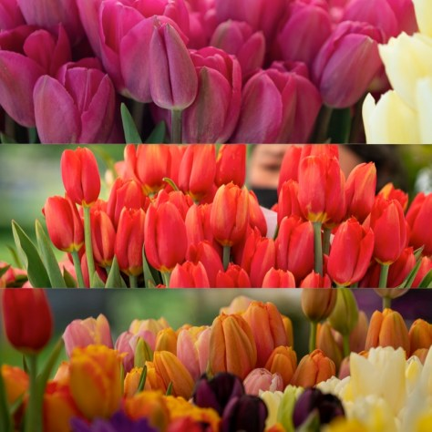 Displays of vibrant tulips offered at the Columbia City Farmers Market.