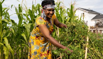 Photo depicting a Black- and female-presenting individual tending to tall tomato plants with tall stalks of green corn grow behind her.