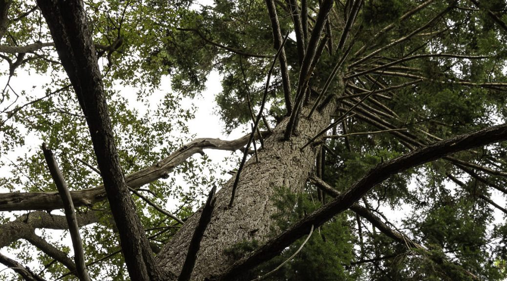 A hemlock tree viewed from below, looking up into the branches. Photo by Paul Shannon