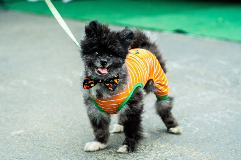 A dog poses in their Halloween costume.