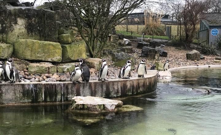 Marwell Zoo - Penguins