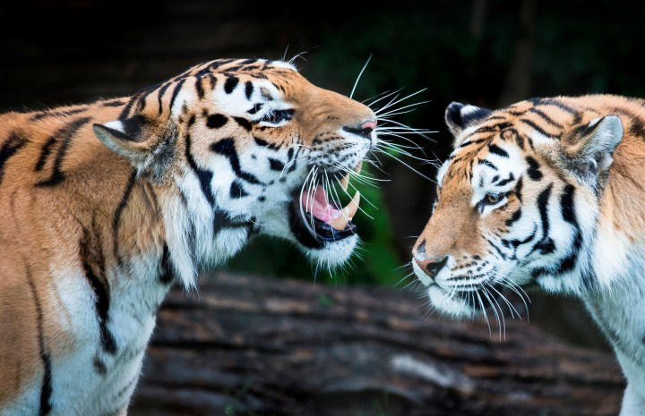 Zoo photographer - Credit Jason Brown - Amur tigers