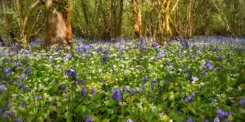 bluebells and wild garlic
