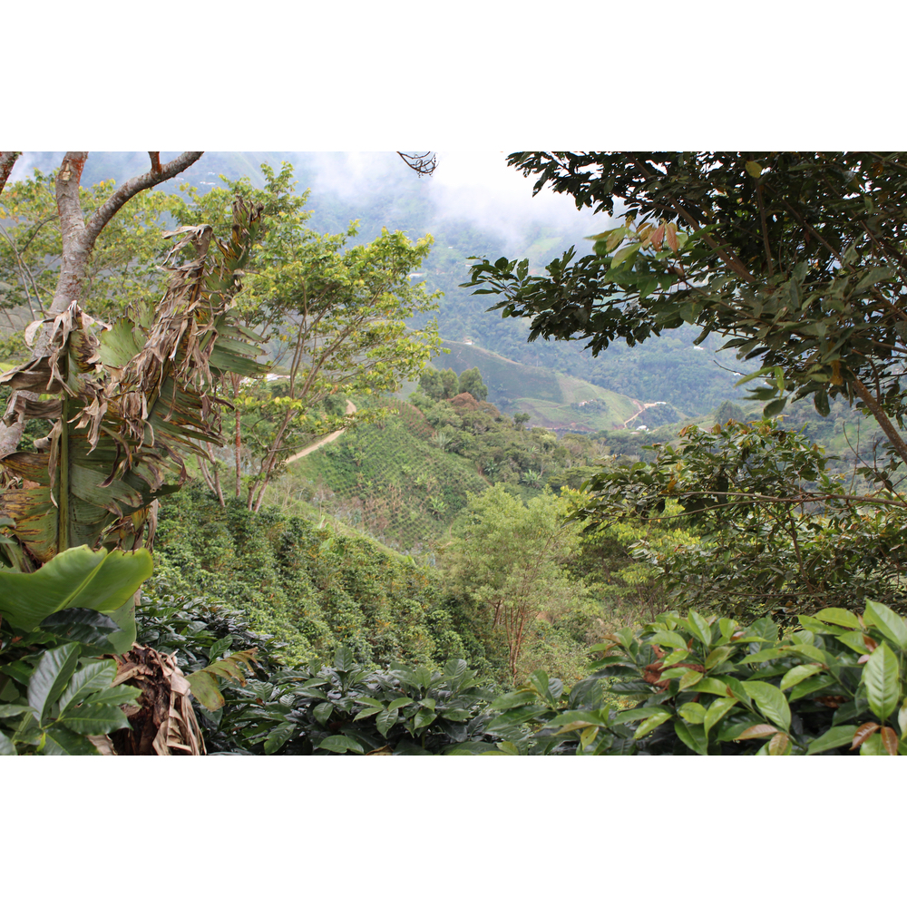 Hills of Cajamarca coffee plantations in Peru
