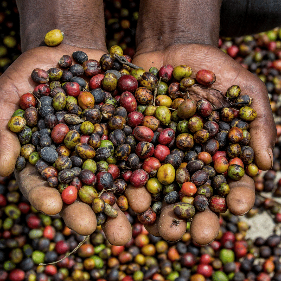 From The Ground Up: The Life Cycle Of The Coffee Bean