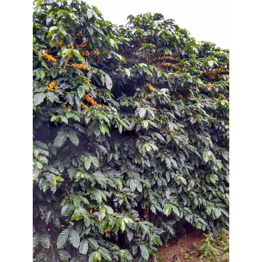 Photo of a coffee shrub from Jaguara yellow catuai varitetal