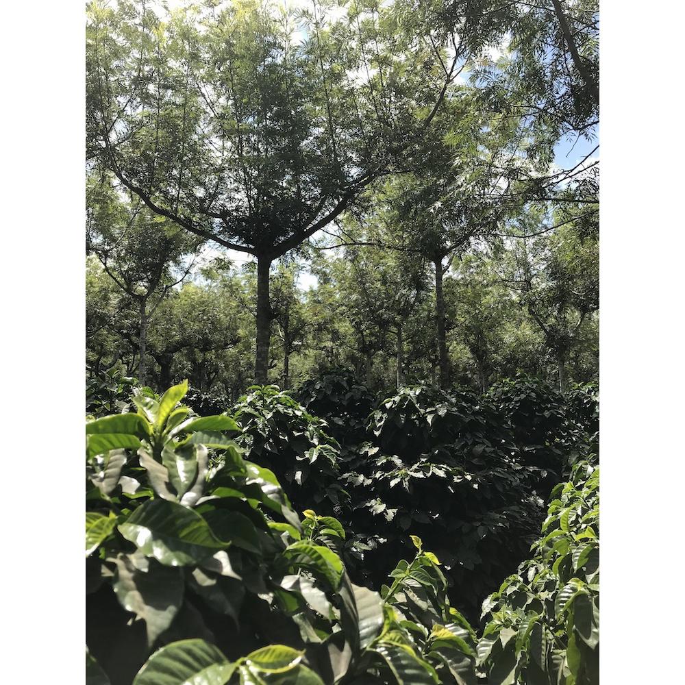 Close up photo of shade trees and coffee shrubs in el Potrero farm in Antigua Guatemala