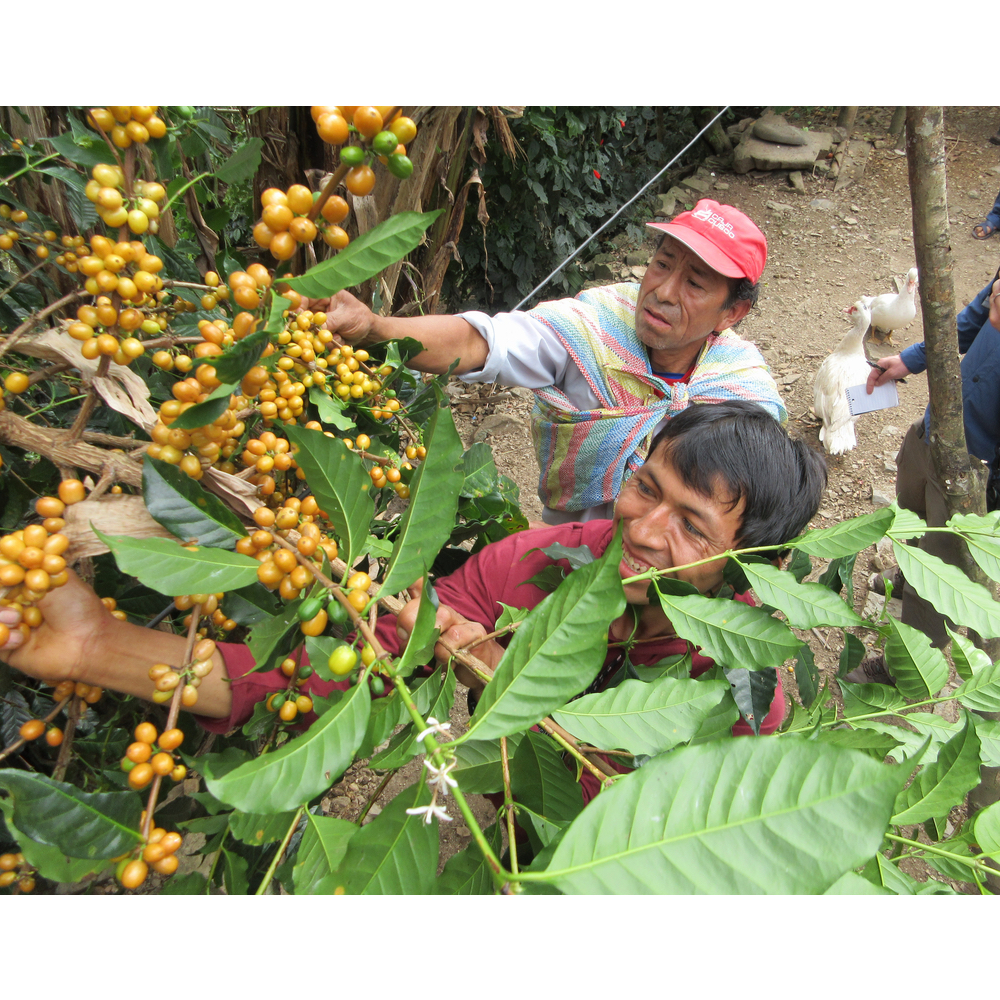 workers in the farm picking coffee cherries to be sorted and processed in the yanatile valley cusco peru