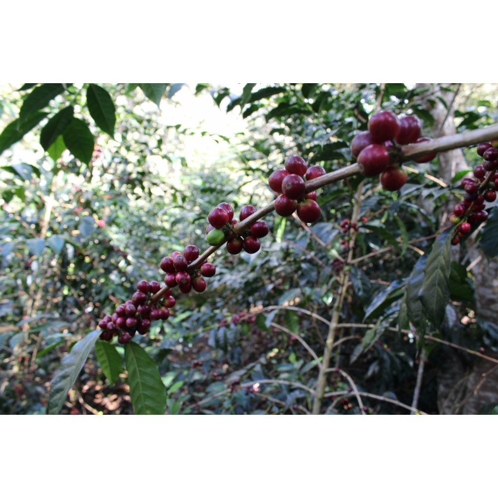red coffee cherries ready to be picked and processed in the yanatile valley in cusco peru