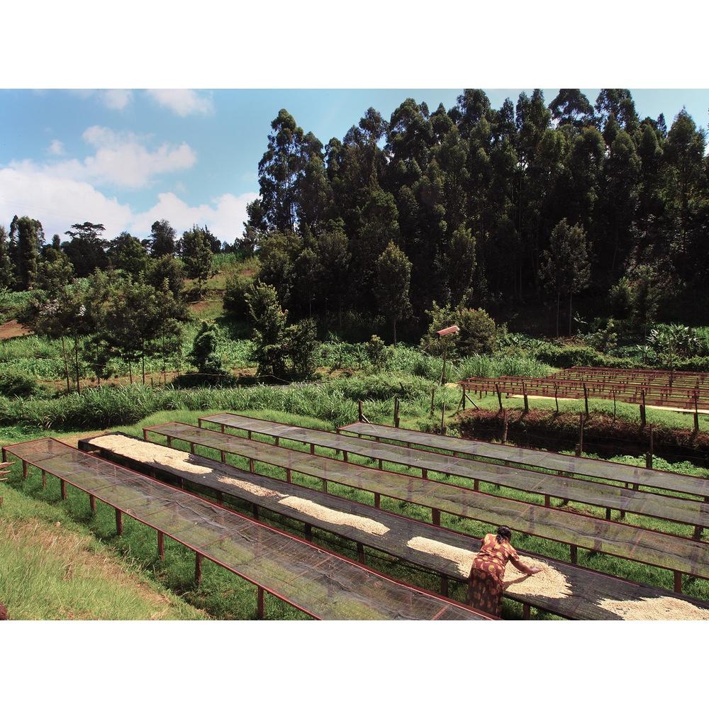 coffee Drying beds in nyeri kenya