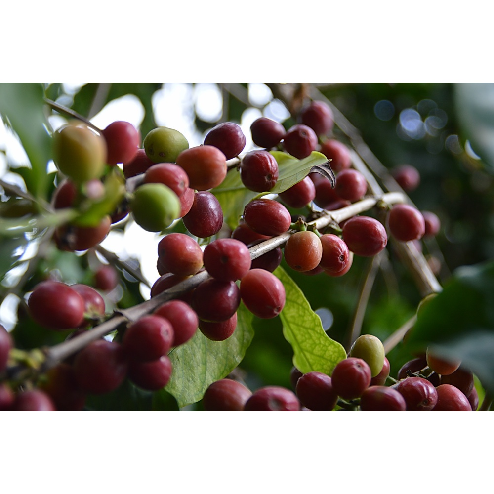 Photo of Coffee cherries from a farm in Khulani Yemen