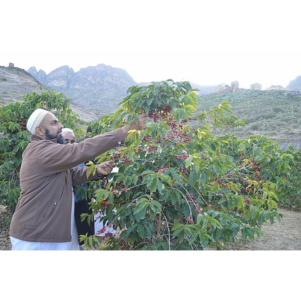 Farmer picking coffee cherries in Khulani Yemen