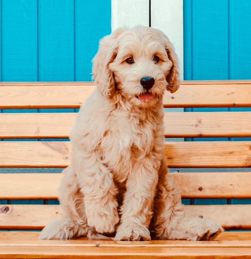 Labradoodle-Puppies-For-Sale-In-Texas