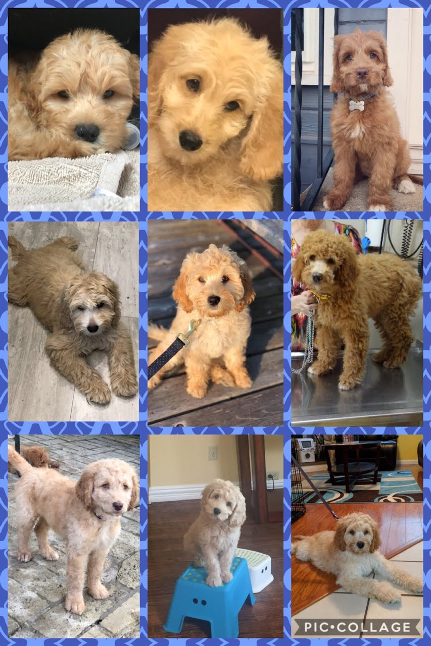 Texas Labradoodles for Sale