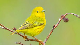 yellow finch
