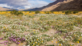 MOTHER LODE A calendar-worthy scene of flowers carpeting the desert floor reaching into the distance at Anza Borrego Desert State Park in the Colorado Desert.