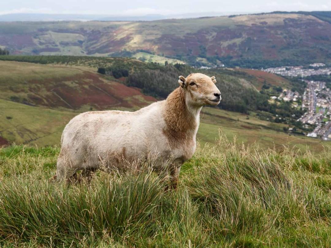 Body of ewe
