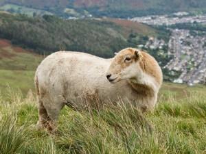 Ewe body- red
