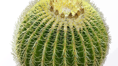 The Golden Barrel Cactus