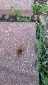 Queen Bee Greeted & Fed By Worker