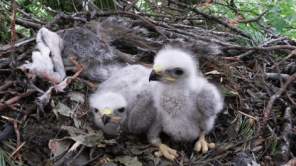 Two Young Buzzards