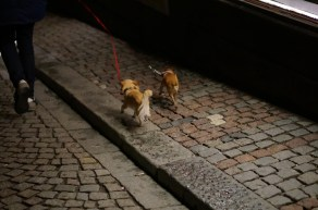chihuahuas walking