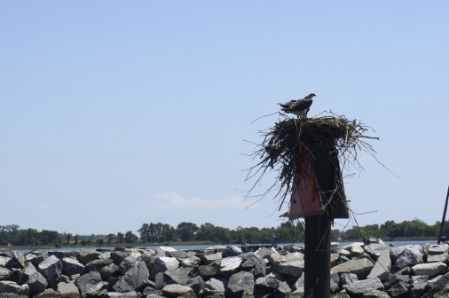 osprey nest chesapeake bay rock hall maryland