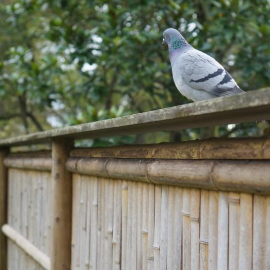 Kyoto garden Holland Park bamboo fence bird