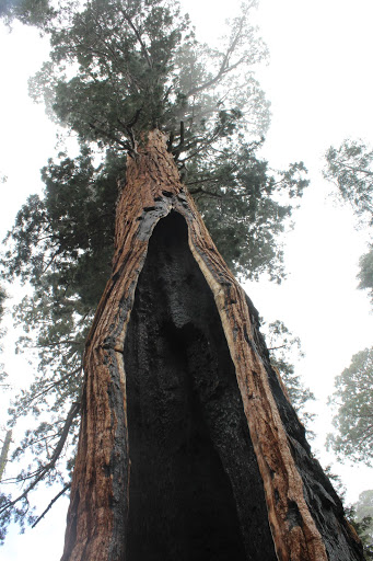 I was able to stand inside a sequoia that survived a forest fire. Now if I could only get through midterm season…