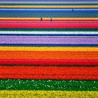 Tulip Fields in Netherlands 10.03.2020