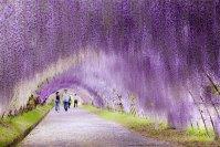 Wisteria Flower Tunnel in Japan 10.03.2020