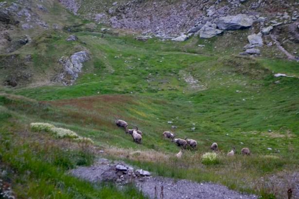 Capricorns roaming the hillside