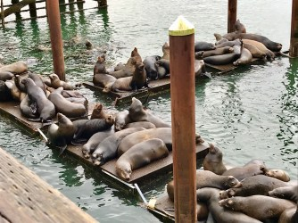 Newport is home to a lot of sea lions