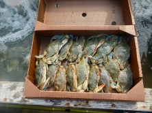 "Live softshells, or ""peelers,"" ready to head to market in New York City"
