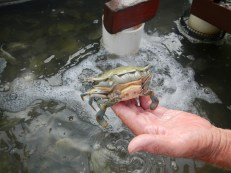 """A """"peeler"""" in the middle of molting. The resulting crab is far larger than its shell, amazing"""