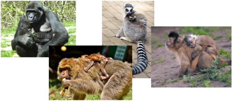 Billede der viser dyr der bærer eller sover med deres unger