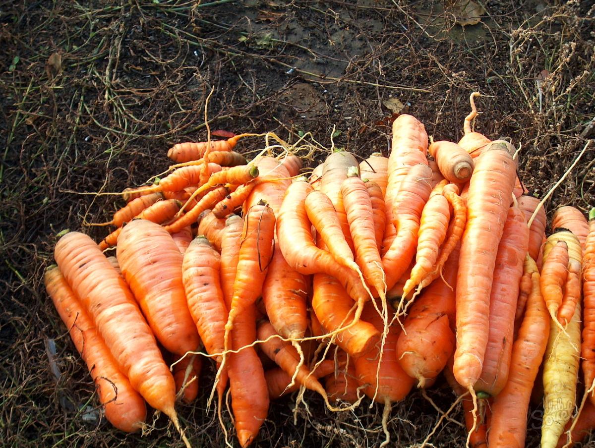 16+ Die richtige Lagerung von Karotten zu Hause   verschiedene ... Galerie