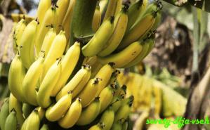 температура для хранения бананов