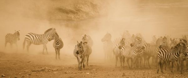 zebras in the dust