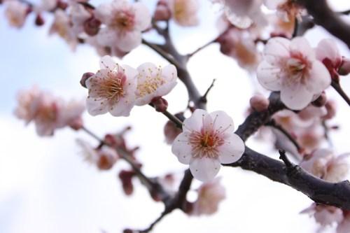 南高梅の花は白梅