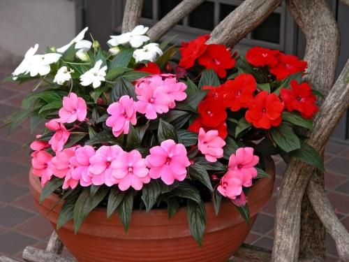 夏の花インパチェンス