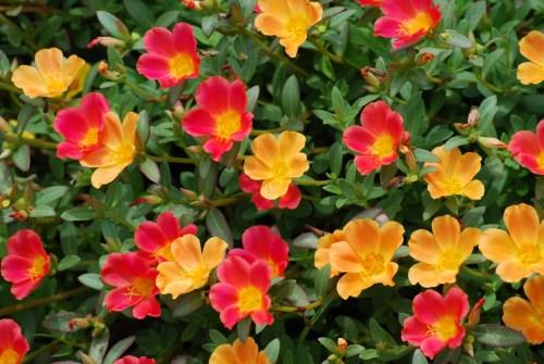 夏の花ポーチュラカ