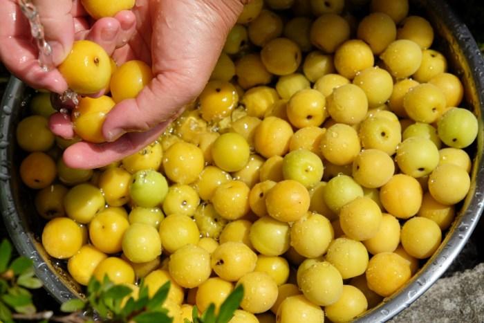 梅干しの作り方梅を洗う